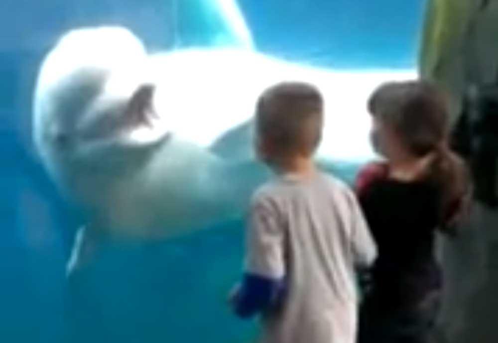 Una ballena beluga se divierte asustando a unos niños