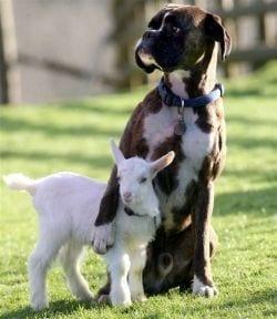 boxer-cabra