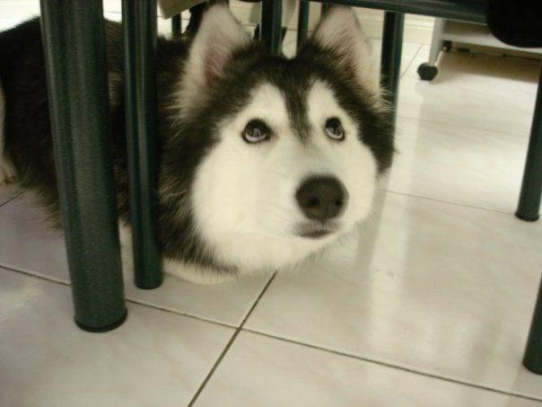 husky-criado-por-gatos-1