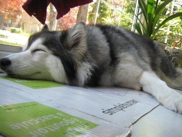 husky-criado-por-gatos-12