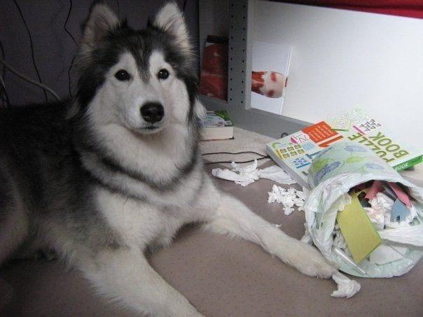 husky-criado-por-gatos-13