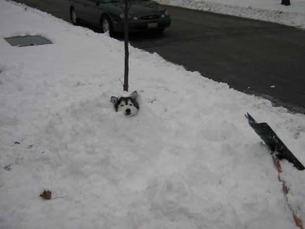 husky-criado-por-gatos-15