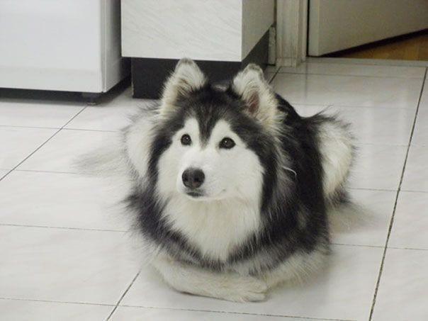husky-criado-por-gatos-2