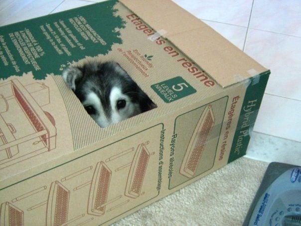 husky-criado-por-gatos-3