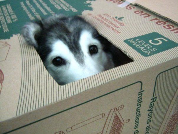 husky criado por gatos 4