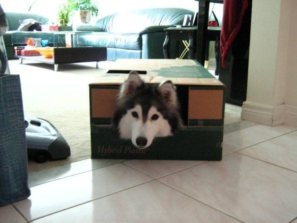 husky-criado-por-gatos-5