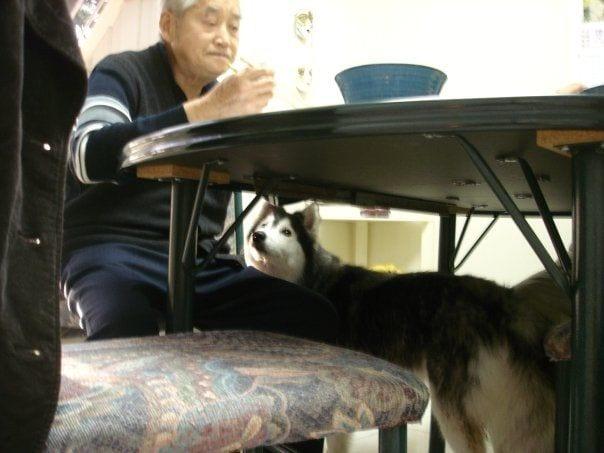 husky-criado-por-gatos-6