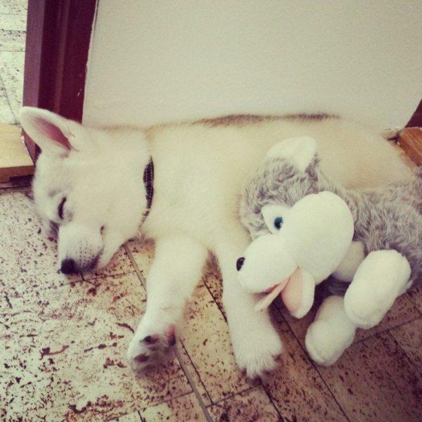 huskys adorables 04