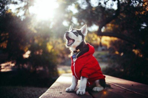 huskys adorables 10