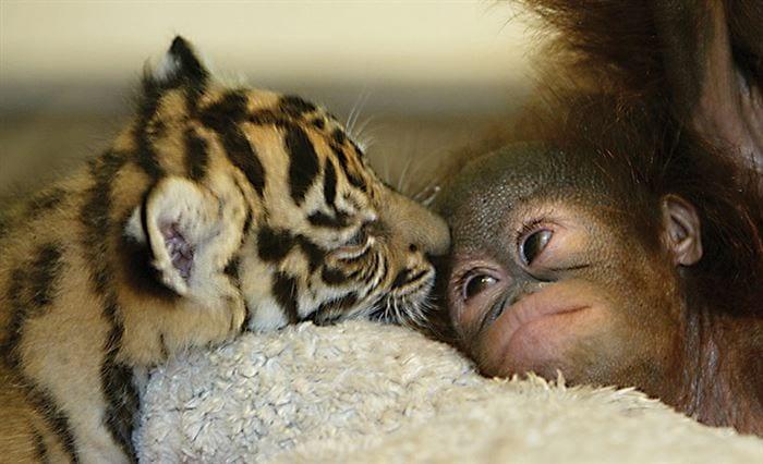 orangutan y tigre