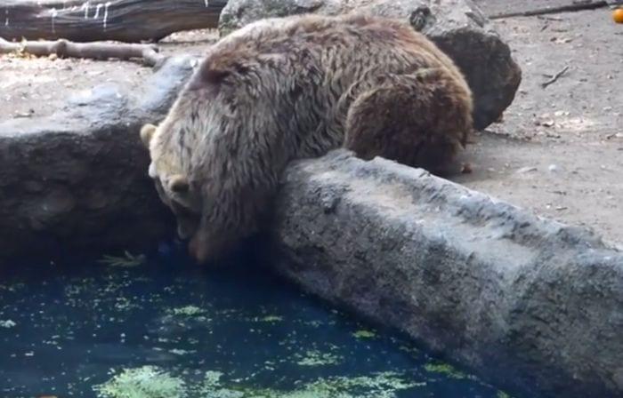 oso rescatando a cuervo