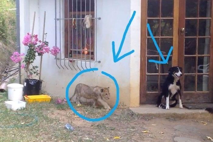 perro asustado por leon1