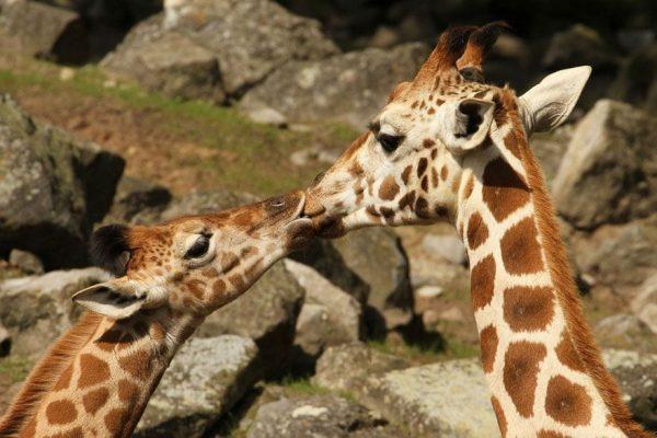 animales-besandose-15