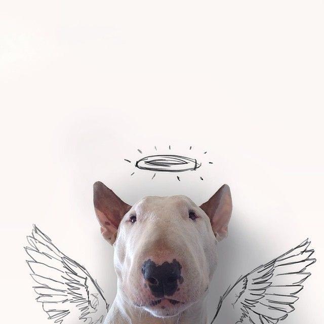 bull-terrier07