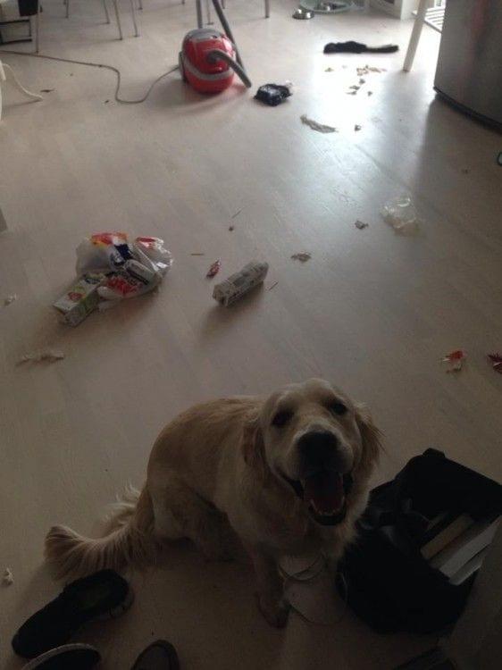 perros-disimulando-destrozos-04