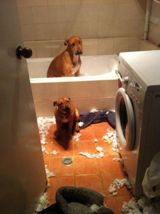 perros-disimulando-destrozos-05