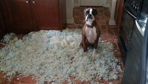 perros-disimulando-destrozos-08