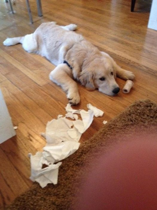 perros-disimulando-destrozos-10