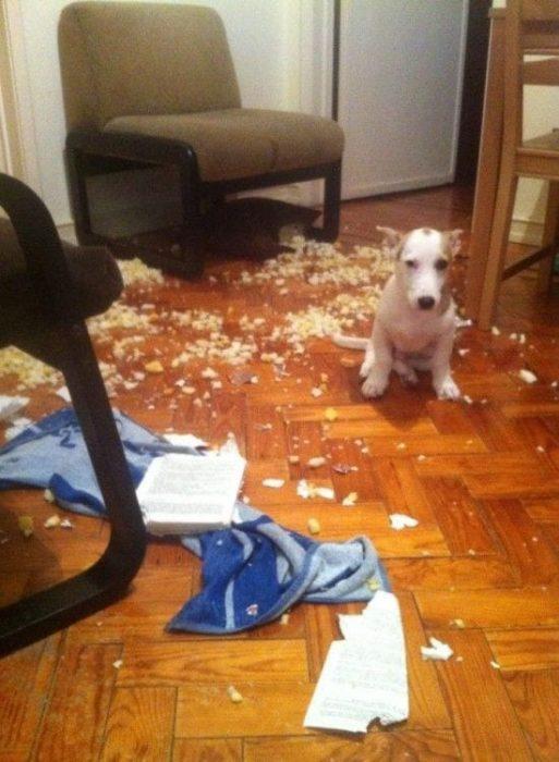 perros-disimulando-destrozos-12