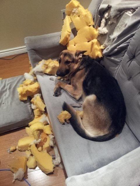 perros-disimulando-destrozos-13