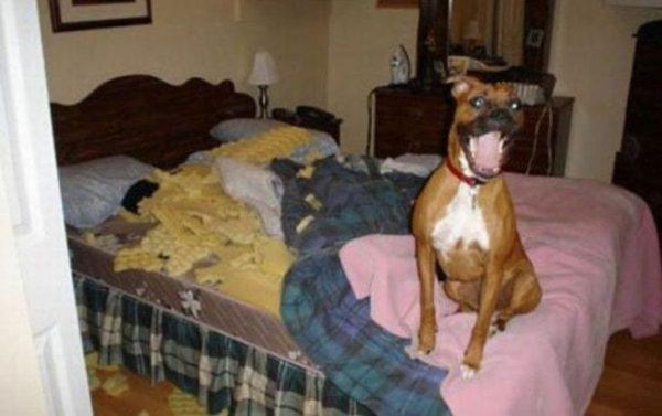 perros-disimulando-destrozos-14