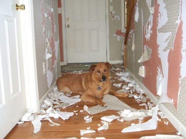 perros-disimulando-destrozos-16