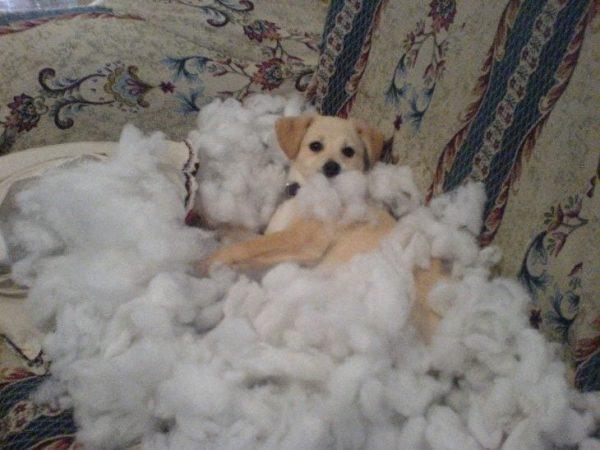 perros-disimulando-destrozos-18