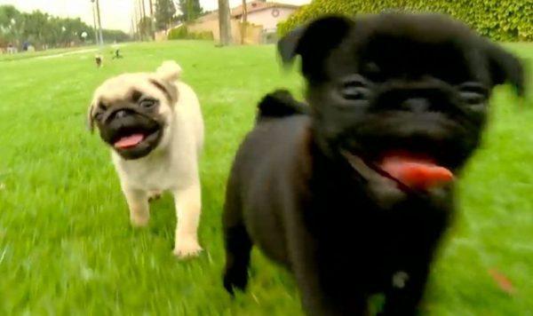 carlinos cachorros