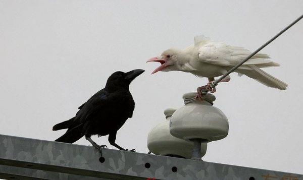 cuervo-albino