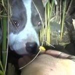 rescate pitbull cachorros