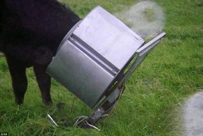 vacas08