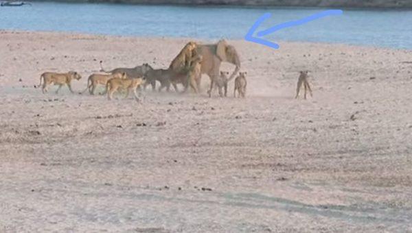 elefante leones