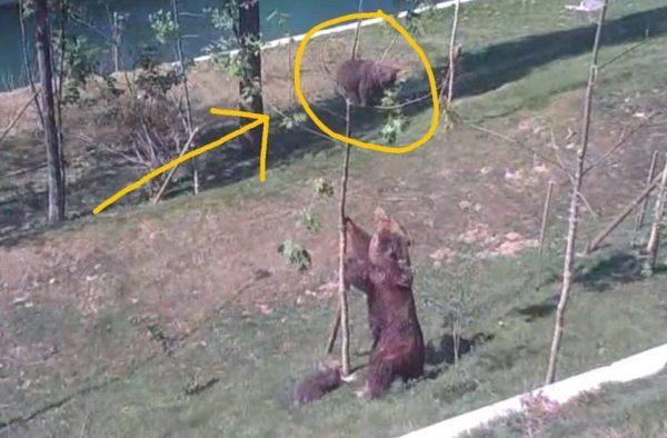 mama oso salvando osezno