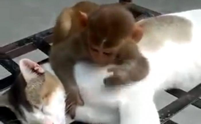 gato mono