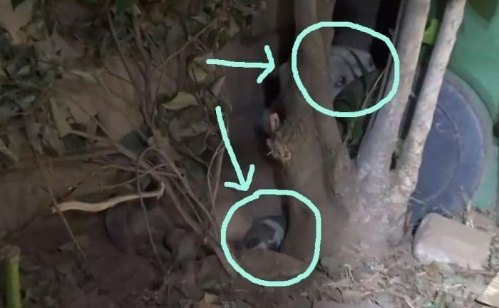 rescate mama pitbull