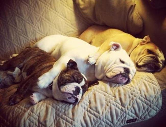 bulldogs 11