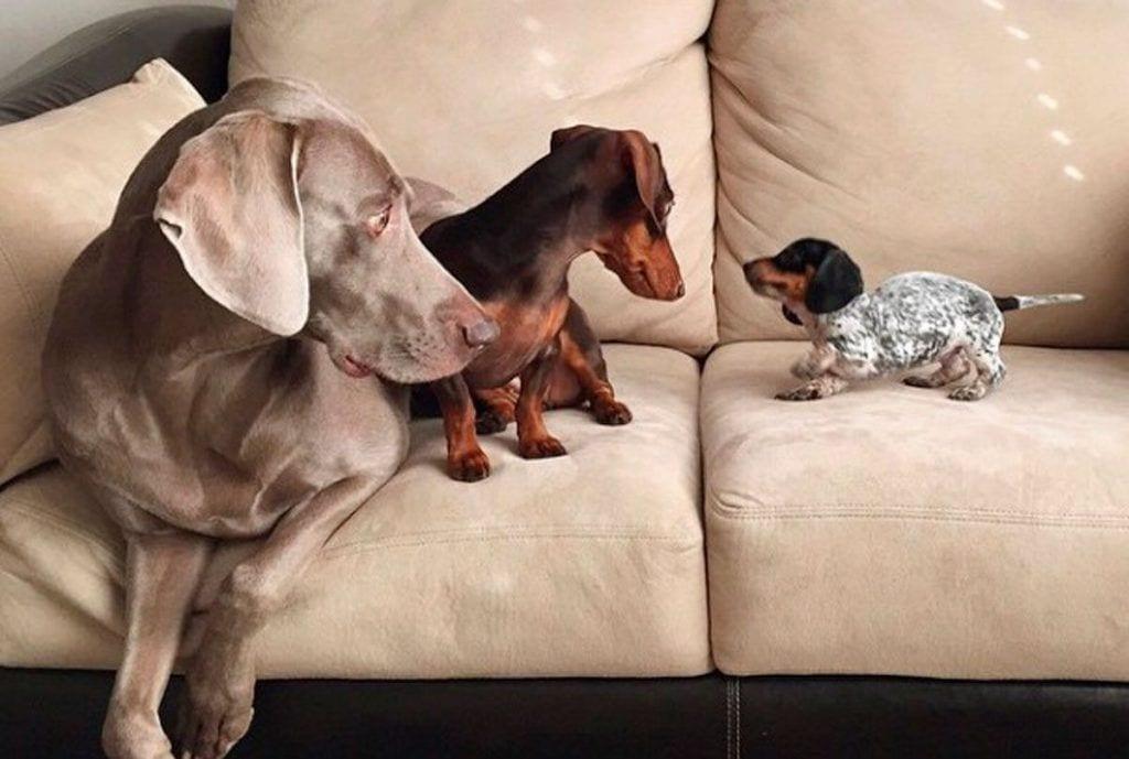perros dest