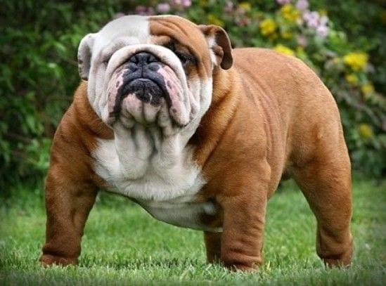 tipos-de-bulldogs-frances-ingls-y-americano-bulldog-ingles-e1389363595472