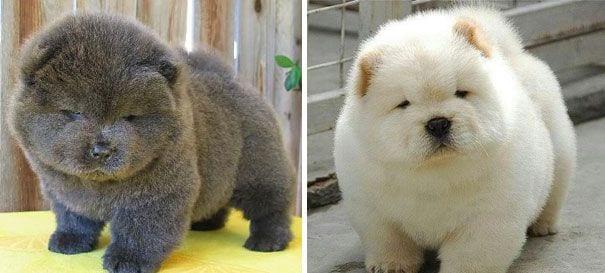 cachorros osos11