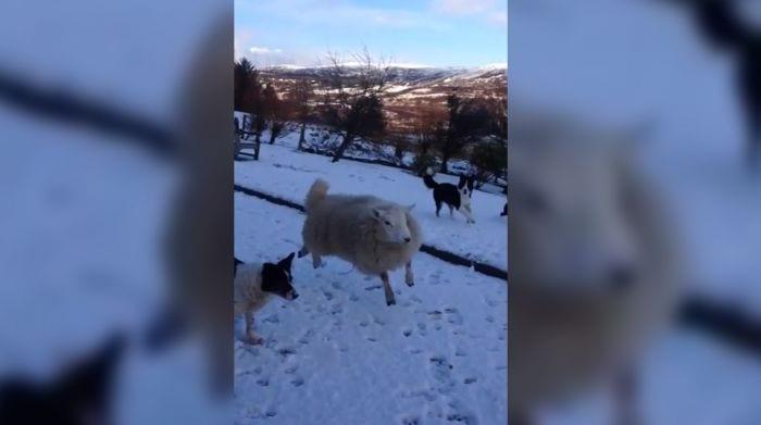 cordero perros