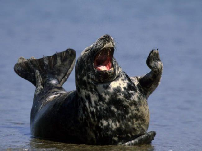 focas-riendo-08