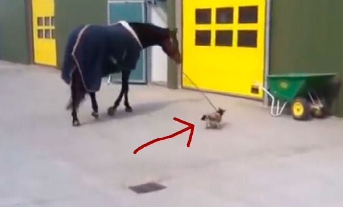 perro paseando caballo