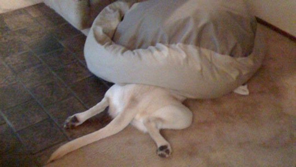 perros olvidan como dormir dest