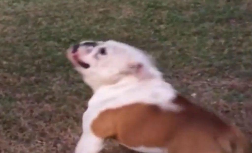 bulldog soplador hojas
