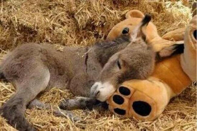 burros mini 16