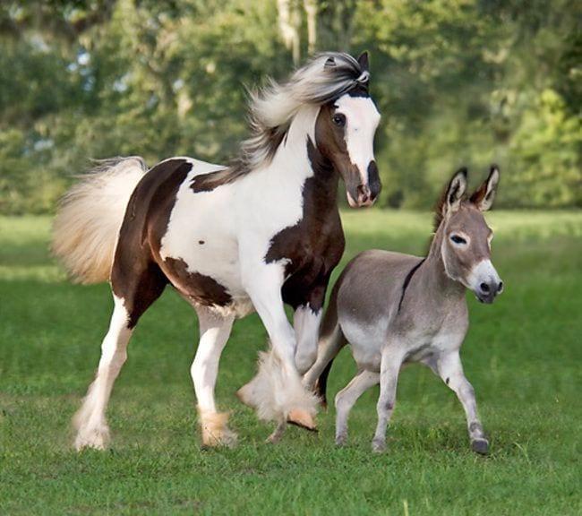 burros mini 4
