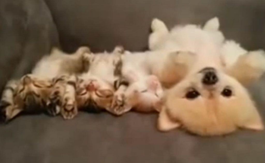 cachorros tumbados