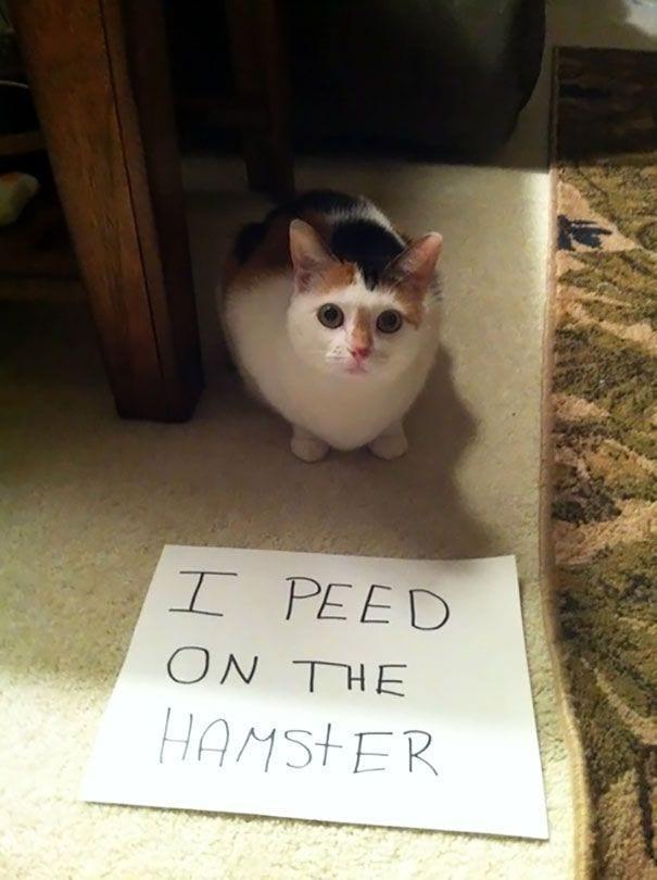 gatos-culpables03