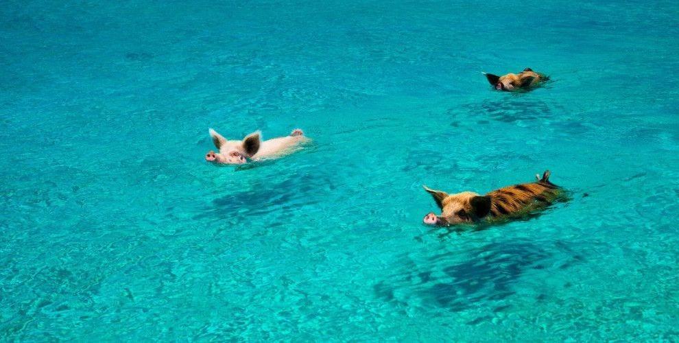 playa cerdos