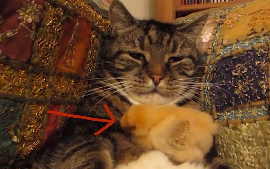 gato pollito durmiendo